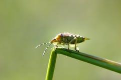 Insetti, pentatomidae fotografie stock