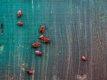 Insetti rossi su un bordo di legno fotografie stock