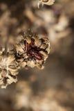 Insetti rossi su un fiore appassito Fotografia Stock Libera da Diritti