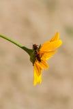 Insetti rossi su un fiore giallo Fotografia Stock