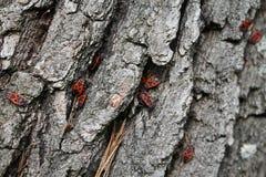 Insetti rossi su una corteccia grigia Fotografia Stock
