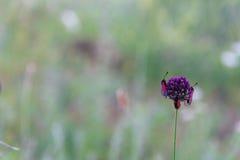 Insetti rossi sulla fine porpora del fiore del campo su Immagine Stock