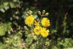 Insetti sui fiori gialli Fotografia Stock
