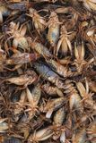 Insetti tropicali di gryllus morto del cricket per l'estratto Fotografie Stock
