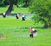 Insetticida dello spruzzo degli agricoltori nel giacimento del riso Immagini Stock Libere da Diritti