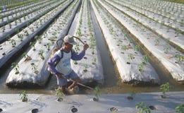 Insetticida di spruzzatura dell'agricoltore Fotografia Stock Libera da Diritti