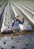 Insetticida di spruzzatura dell'agricoltore Fotografia Stock