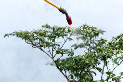 Insetticida di spruzzatura dell'agricoltore sulla pianta dei peperoncini rossi Fotografia Stock Libera da Diritti