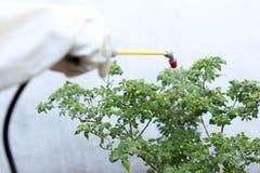 Insetticida di spruzzatura dell'agricoltore sulla pianta dei peperoncini rossi Immagini Stock