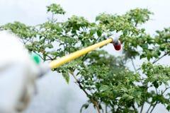 Insetticida di spruzzatura dell'agricoltore sulla pianta dei peperoncini rossi Immagine Stock Libera da Diritti