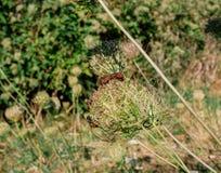 Insetto accoppiamento degli scarabei sui fiori verdi di estate fotografia stock