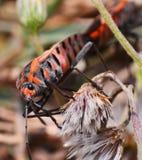 Insetto arancio Pentatomidae Immagine Stock