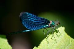 Insetto blu Fotografia Stock