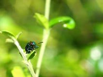 Insetto blu sulle foglie verdi Fotografia Stock Libera da Diritti