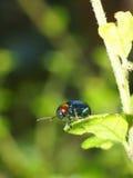 Insetto blu sulle foglie verdi Fotografia Stock