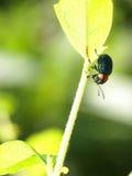 Insetto blu sulle foglie verdi Immagini Stock
