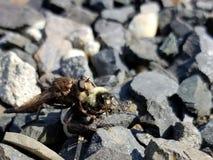 Insetto che mangia un'ape Fotografia Stock Libera da Diritti