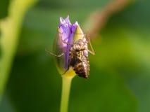 Insetto che muda su Lotus Flower Immagine Stock