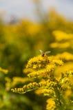 Insetto con i fiori gialli Fotografie Stock