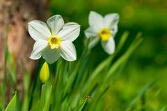 Insetto contro lo sfondo dei fiori della molla Fotografia Stock