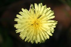 Insetto d'impollinazione in un fiore Immagini Stock Libere da Diritti
