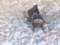 insetto del bufalo Fotografie Stock Libere da Diritti