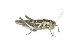 Insetto del cricket fotografie stock
