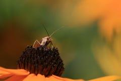 Insetto del moscerino Fotografia Stock Libera da Diritti
