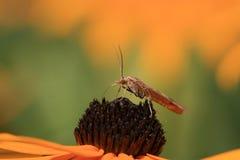 Insetto del moscerino fotografia stock