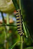 Insetto del trattore a cingoli della farfalla di monarca fotografie stock