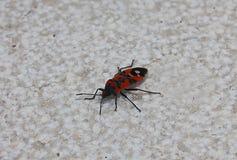 Insetto dell'insetto rosso e nero Fotografie Stock