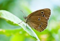 Insetto della farfalla Immagini Stock