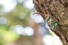 Insetto della lanterna della mosca di lanterna, Pyrops uva sultanina Immagini Stock
