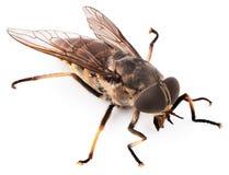 Insetto della mosca isolato su fondo bianco immagini stock libere da diritti