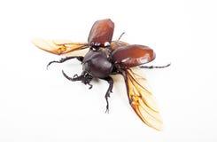 Insetto dello scarabeo di Horn isolato su fondo bianco Immagine Stock