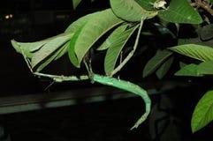 Insetto di bastone verde che appende nelle foglie immagine stock