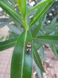 Insetto di Boxelder nella pianta dell'oleandro Fotografia Stock