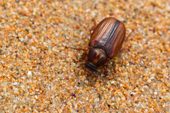 Insetto di Brown sulla sabbia Fotografia Stock