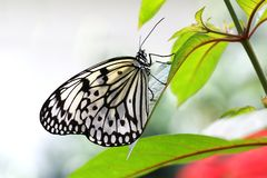 Insetto di carta del leuconoe di idea dell'aquilone della farfalla fotografie stock