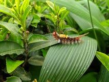 Insetto di Caterpillar sul giardino di tè immagine stock