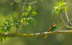 Insetto di cattura di Bee-eater Immagini Stock
