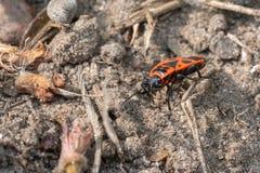 insetto di fuoco rosso luminoso che investe una pietra alla ricerca dell'alimento fotografie stock