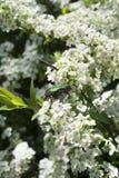 Insetto di giugno in fiori Fotografia Stock