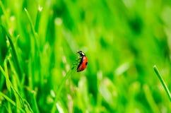 Insetto di Ladybird su fondo verde Fotografia Stock