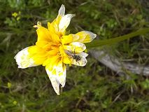 Insetto fadding del fiore giallo fotografia stock