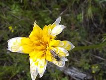 Insetto fadding a del fiore giallo immagine stock libera da diritti