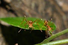 Insetto, formica Immagine Stock Libera da Diritti