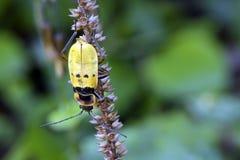 Insetto giallo e nero sulle foglie verdi Fotografie Stock