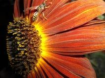Insetto giallo rosso audace luminoso della vespa e del girasole Fotografia Stock Libera da Diritti