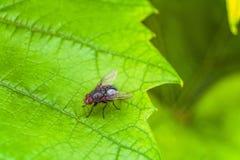 Insetto grigio della mosca sulla foglia verde Immagini Stock Libere da Diritti